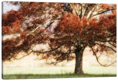 Sunbathed Oak I Canvas Art Print
