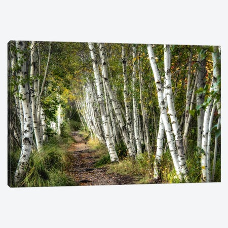 A Walk Through The Birch Trees Canvas Print #DNY39} by Danny Head Canvas Artwork