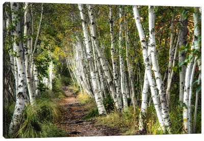 A Walk Through The Birch Trees Canvas Art Print