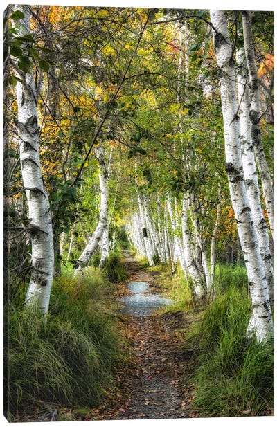 Birch Path I Canvas Art Print