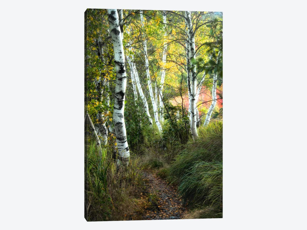 Birch Path III by Danny Head 1-piece Canvas Art