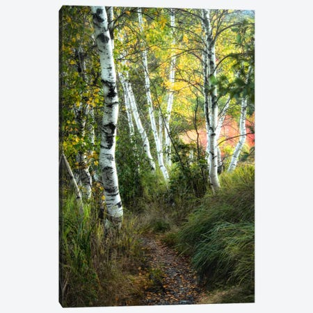 Birch Path III Canvas Print #DNY43} by Danny Head Art Print