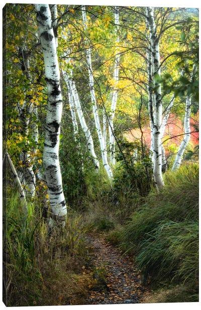 Birch Path III Canvas Art Print