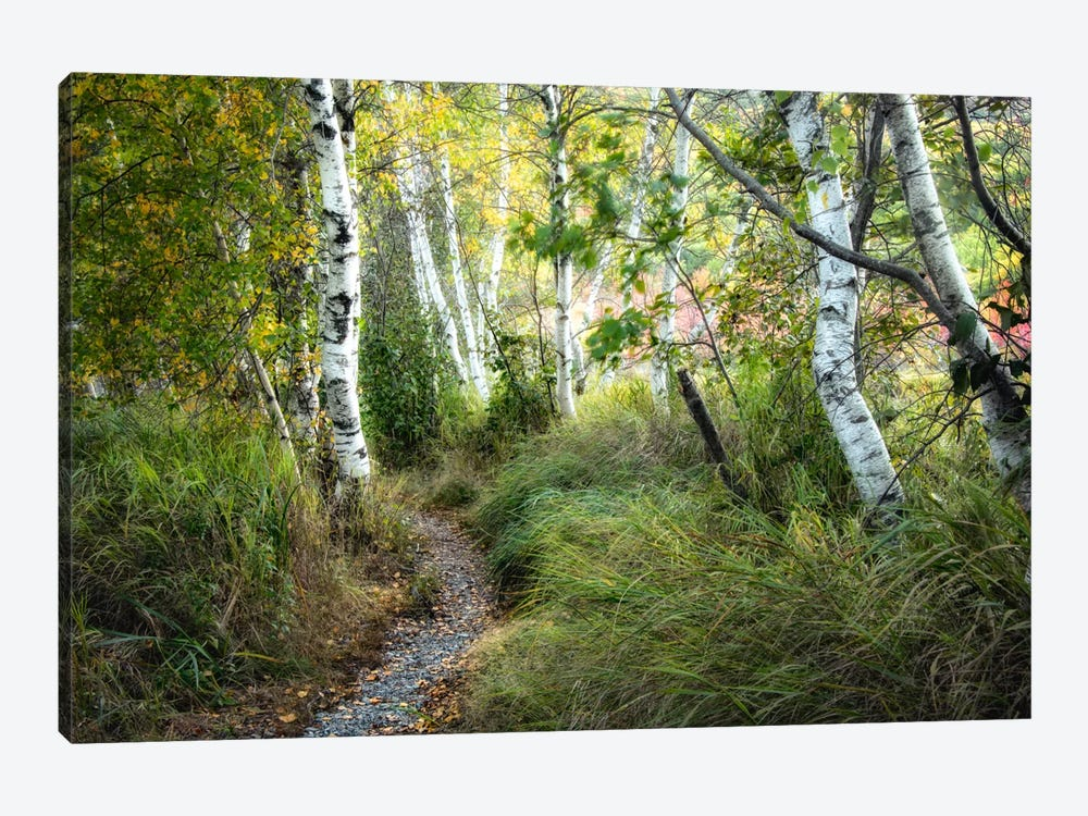 Birch Trees & Tall Grass by Danny Head 1-piece Canvas Print