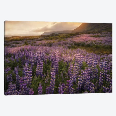 Field Of Lupines Canvas Print #DNY63} by Danny Head Canvas Art Print