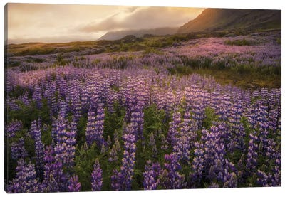 Field Of Lupines Canvas Art Print