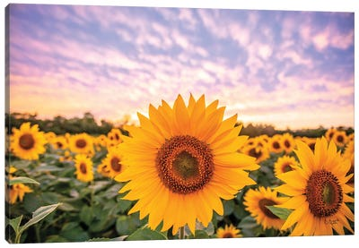 Sunflower Sunset Canvas Art Print