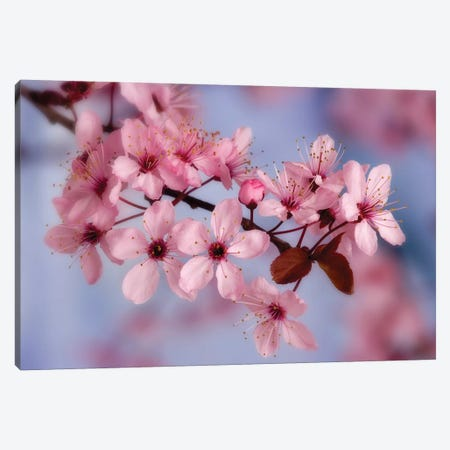 Cherry Blossoms In Zoom Canvas Print #DPA3} by Don Paulson Art Print