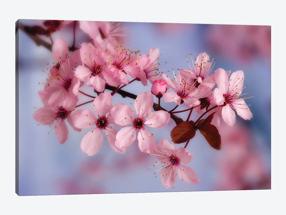 Cherry Blossoms In Zoom by Don Paulson 1-piece Canvas Artwork