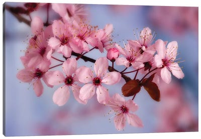 Cherry Blossoms In Zoom Canvas Art Print