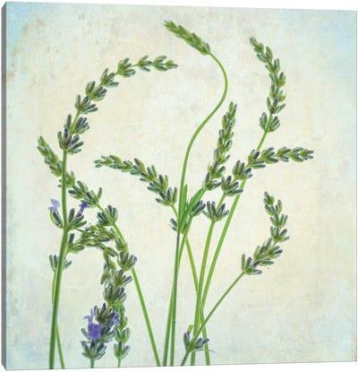 Lavender I Canvas Art Print