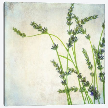 Lavender II Canvas Print #DPO12} by Dianne Poinski Canvas Art