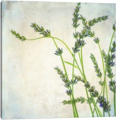 Lavender II Canvas Art Print