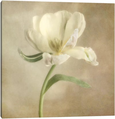 Ivory Blossom I Canvas Art Print