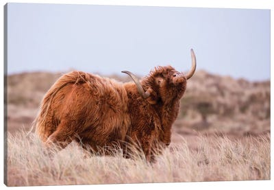 Highland Cow In Nature Canvas Art Print