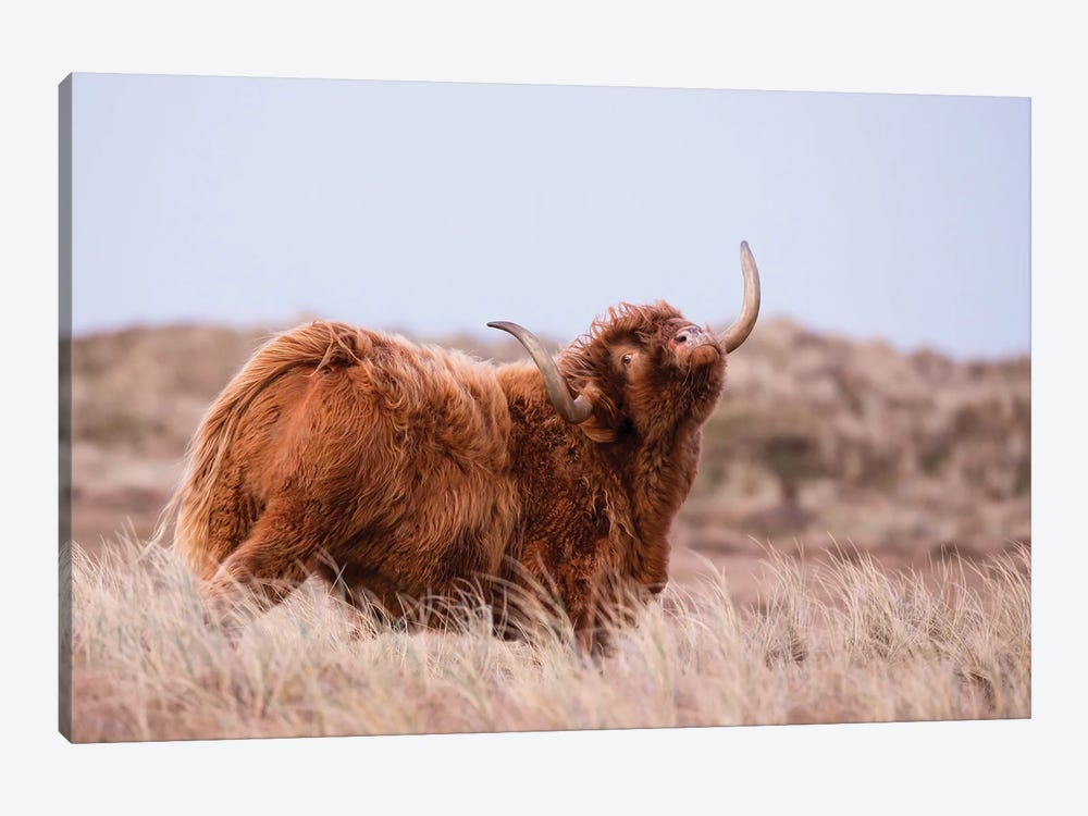 Highland Cow In Nature by MennoSchaefer 1-piece Canvas Art