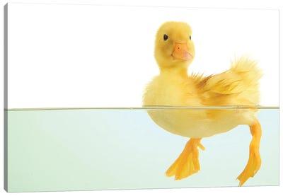 Floating Cute Duckling Canvas Art Print