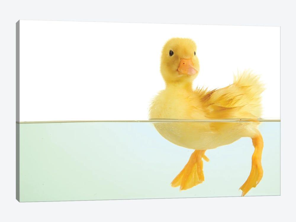 Floating Cute Duckling by belchonock 1-piece Canvas Artwork