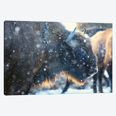 Bison In Snowy Forest Canvas Print #DPT319} by xload Canvas Print