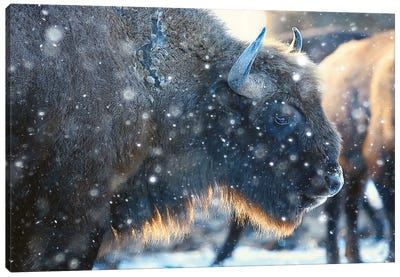 Bison In Snowy Forest Canvas Art Print