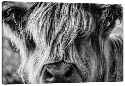 A Very Long-Haired Cow Looks Through Its Hair Canvas Art Print