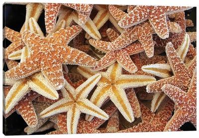 Beautiful Brown Starfishes Canvas Art Print