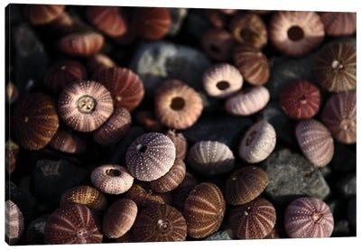 Close Up Shot Of Sea Urchin Shells In Sunlight Canvas Art Print