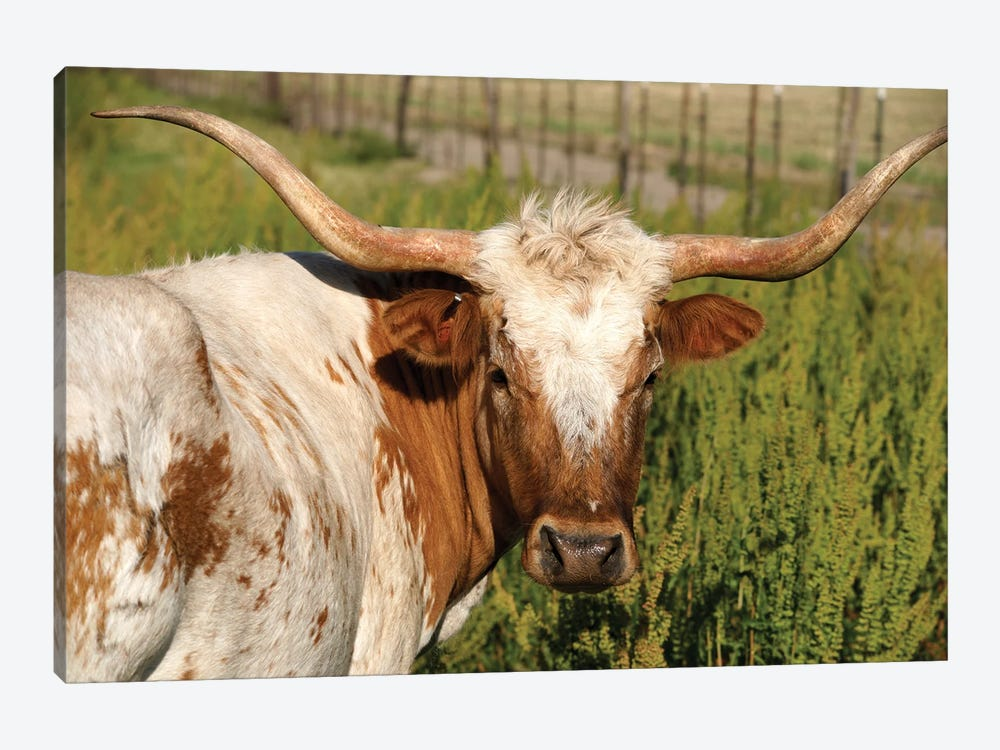 Longhorn Cow by ehpoint 1-piece Canvas Print