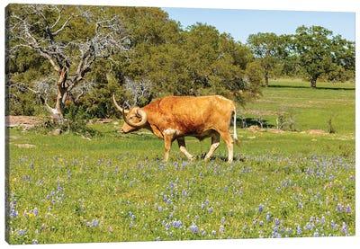 Beautiful Longhorn Bull IV  Canvas Art Print