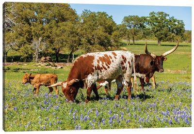 Texas Cattle Grazing Canvas Art Print