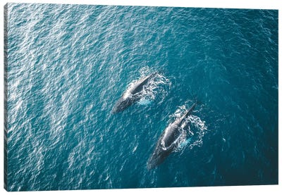 Aerial View Of Several Humpback Whales Diving In The Ocean With Blue Water And Blow Canvas Art Print