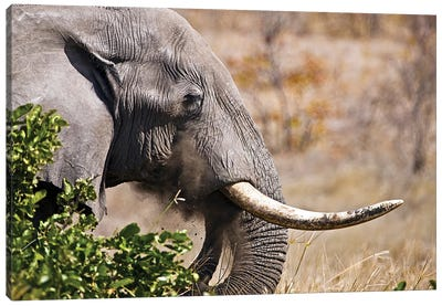 Close Up Picture Of An Elephant Head In Kruger National Park, South Africa Canvas Art Print