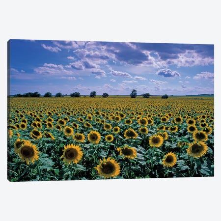Sunflower Field, Kansas, USA Canvas Print #DRF1} by David R. Frazier Canvas Artwork