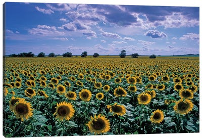 Sunflower Field, Kansas, USA Canvas Art Print