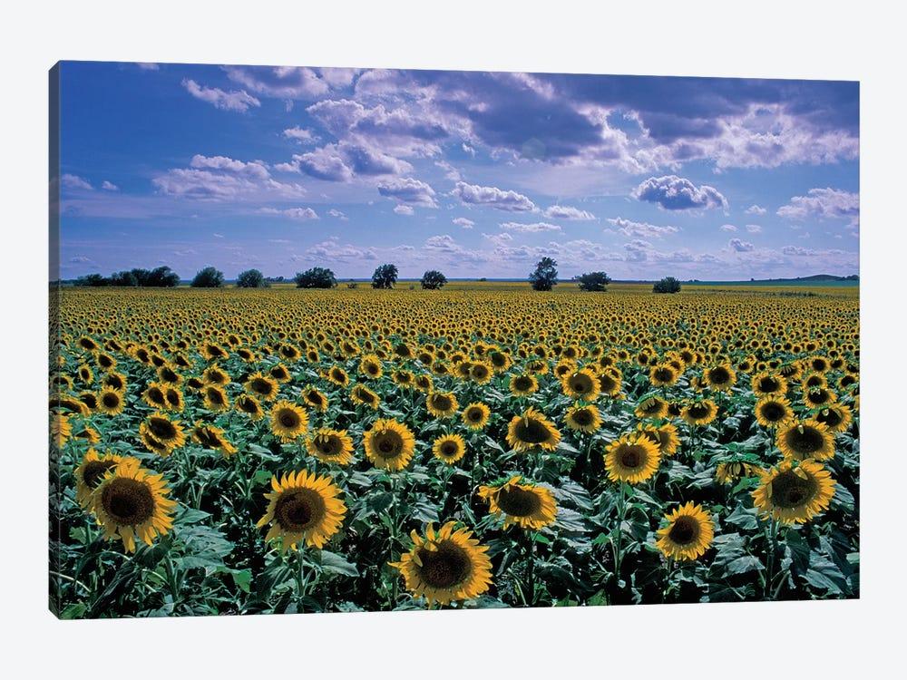 Sunflower Field, Kansas, USA by David R. Frazier 1-piece Canvas Artwork