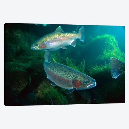 Rainbow Trout Pair Underwater In Utah Canvas Print #DRM10} by Michael Durham Canvas Art Print