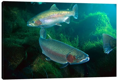 Rainbow Trout Pair Underwater In Utah Canvas Art Print