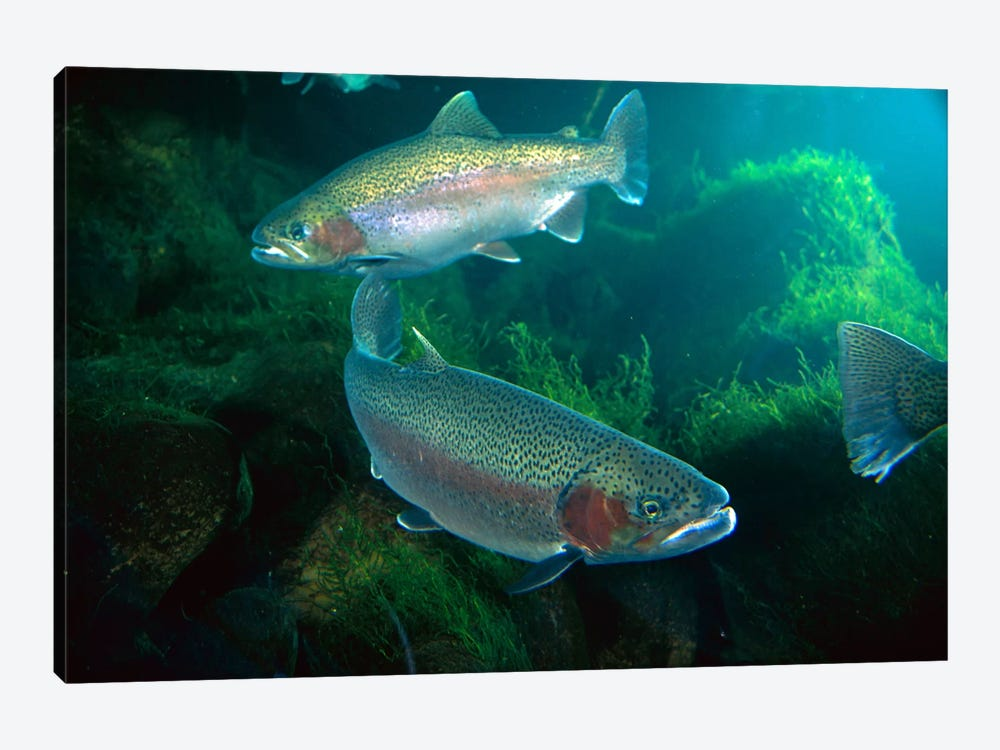 Rainbow Trout Pair Underwater In Utah by Michael Durham 1-piece Canvas Art Print