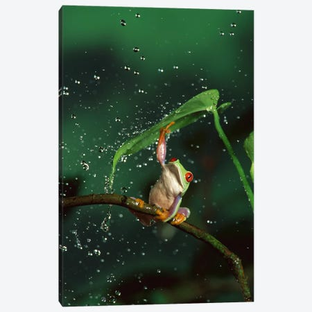Red-Eyed Tree Frog In Rain, Native To Central And South America Canvas Print #DRM11} by Michael Durham Canvas Art Print