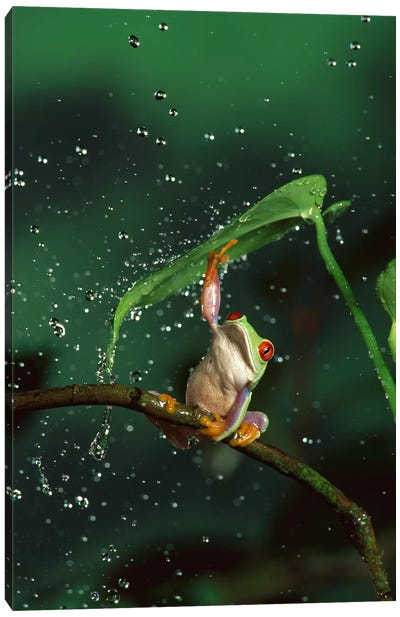 Red-Eyed Tree Frog In Rain, Native To Central And South America Canvas Art Print