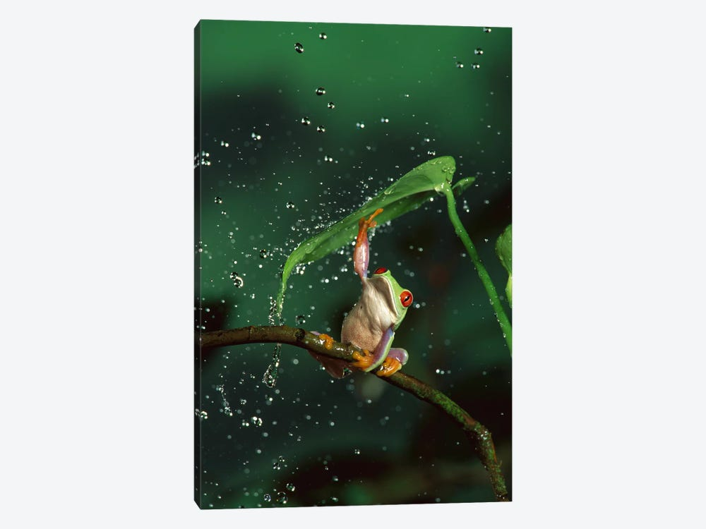 Red-Eyed Tree Frog In Rain, Native To Central And South America by Michael Durham 1-piece Canvas Wall Art