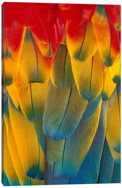 Scarlet Macaw Close-Up Of Colorful Feathers Canvas Art Print