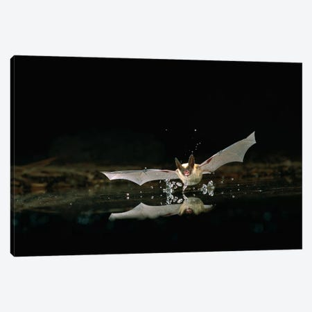 Western Long-Eared Myotis Bat, Drinking From Pond, Deschutes National Forest, Oregon Canvas Print #DRM15} by Michael Durham Canvas Artwork