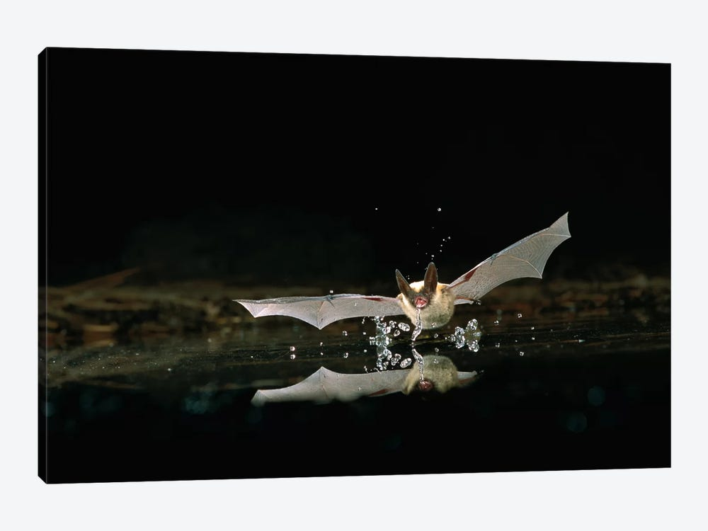 Western Long-Eared Myotis Bat, Drinking From Pond, Deschutes National Forest, Oregon by Michael Durham 1-piece Canvas Art