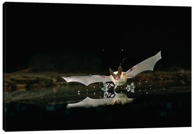 Western Long-Eared Myotis Bat, Drinking From Pond, Deschutes National Forest, Oregon Canvas Art Print