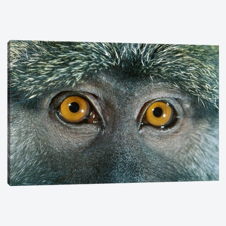 Allen's Swamp Monkey Detail Of Eyes, Native To Africa Canvas Print #DRM2} by Michael Durham Canvas Print