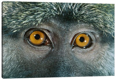 Allen's Swamp Monkey Detail Of Eyes, Native To Africa Canvas Art Print