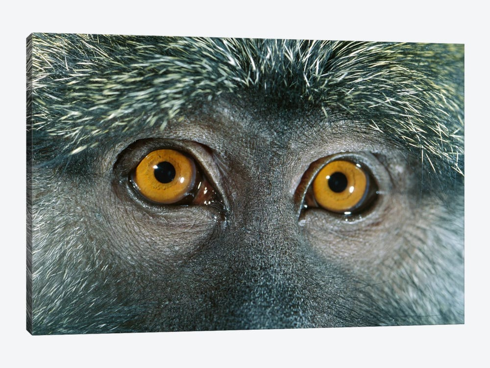 Allen's Swamp Monkey Detail Of Eyes, Native To Africa by Michael Durham 1-piece Canvas Wall Art