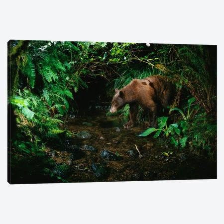 Black Bear At Night Shot With A Remote Camera, De-Commissioned Army Camp In Bonneville, Washington Canvas Print #DRM3} by Michael Durham Canvas Art Print
