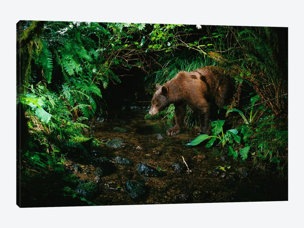 Black Bear At Night Shot With A Remote Camera, De-Commissioned Army Camp In Bonneville, Washington by Michael Durham 1-piece Canvas Print
